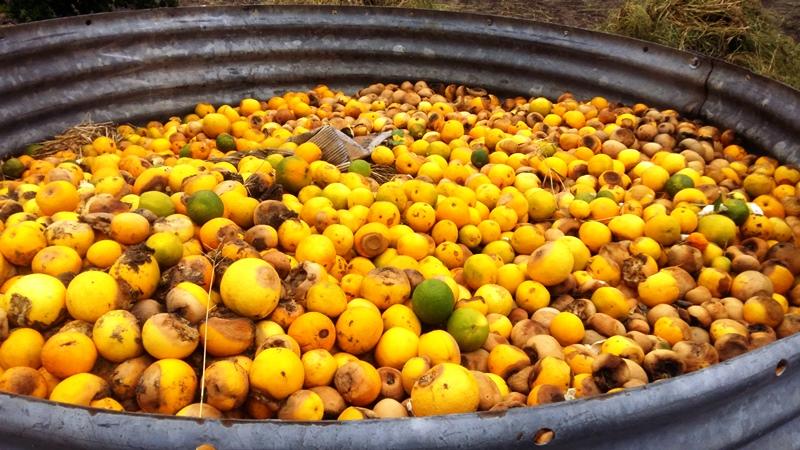 Reste der zu nahezu 100% verloren gegangenen Orangenernte.