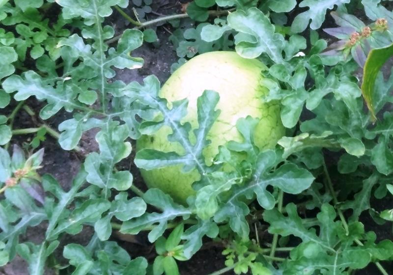 Wassermelonen habe ich erkannt.