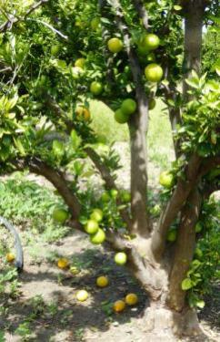 Orangen mit Mottenschäden 2