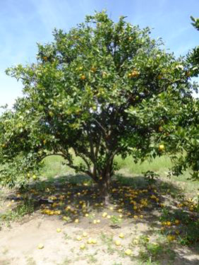 Orangen mit Mottenschäden 2 3